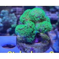 Rhodactis indosinesis verde fluor