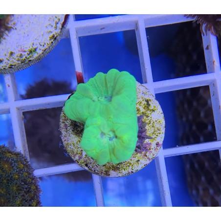 Corydora Agassizii