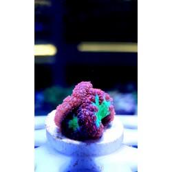 Stylophora roja polipo verde