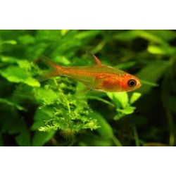 Gamba caridina super red