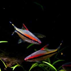 Barbo rhomboocellatus