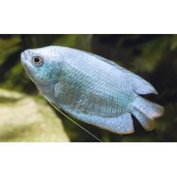 Ramirezi Balon azul