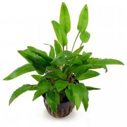 Cryptocarine Wendtii green