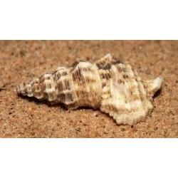 Rhinoclavis Cerithium