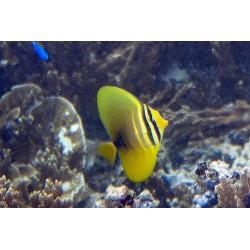 Zebrasoma Veliferum L