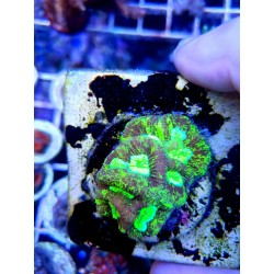 Goniastrea Toxic green