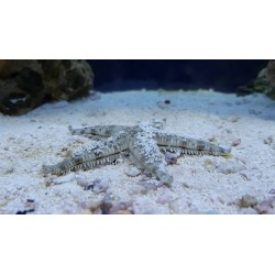ASTROPECTEN SAND STARFISH