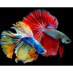 Betta Macho Splendens