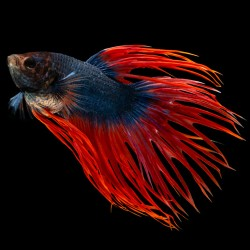 Betta Macho Cola Corona