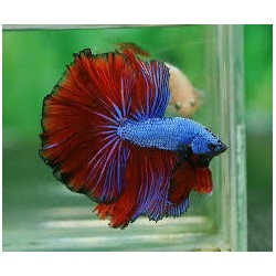Betta macho Dragon mix