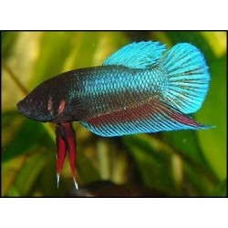 Betta Hembra Splanders color