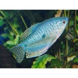 Gourami Azul
