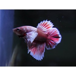 Betta macho dumbo plakat