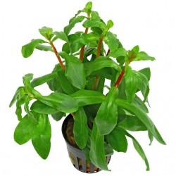 Ammania Snegalensis