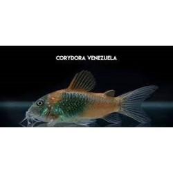 Corydora Venezuela