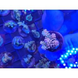 Acropora Tenuis multi color