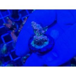 Acropora Tenuis Multicolor