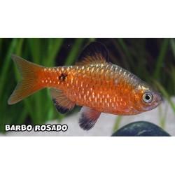 Barbo rosy L- 4 unidades
