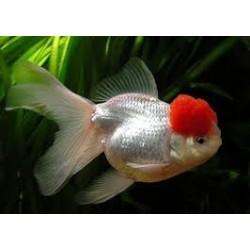 Boina Roja 5-6 cm
