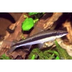 Zorro Come-Algas C.Siamensis